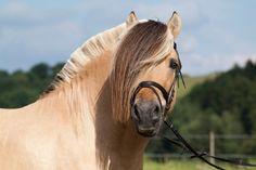 Fjord horse - (Norwegian Fjord)