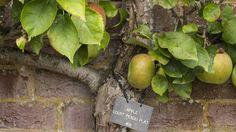 An espaliered 'Court pendu plat' apple tree at Westbury Court Garden Variety Of Fruits, Apple Tree, Fruits And Vegetables, Pear, Fruits And Veggies, Pears, Bulb