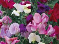 The  sweet pea  is a vigorous tendril climber available in hundreds of varieties.  It flowers in shades of red, pink, mauve, blue, and white and is often scented.