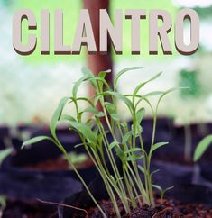 Cilantro, Nutrition, Plants, Instagram, Plant, Planets
