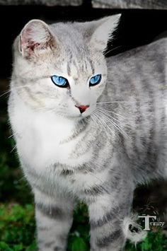 grey and white cats with blue eyes - Google Search