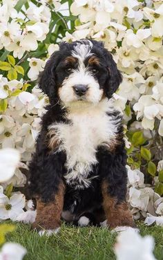 Cute Dogs And Puppies, Baby Dogs, I Love Dogs, Doggies, Super Cute Animals, Cute Baby Animals, Burmese Mountain Dogs, Bernadoodle, Bernedoodle Puppy