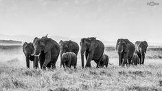 African elephants #wallpaper