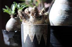 WEBSTA @ u8.jpn - *△△△▽▽▽・ハゲて際立つ一体感。・#invisibleink・#pachypodium #horombense #caudex #caudiciform #succulent #succulents #plant #plants #パキポディウム #ホロンベンセ #塊根植物 #多肉植物 #植物 #変態塊根党