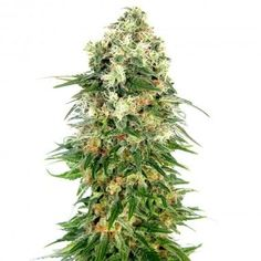 Shiva Skunk Atomatic by Sensi Seeds. 3 SEEDS FROM 27.00€. You can buy it in our online shop clicking the photo! #cannabis #ganja #420 #weed #marijuana