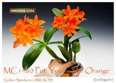 Pot. Young-Min Orange 'Golden Satisfaction' AM/AOS (Pot. Viola Nugget x Lc. Trick or Treat)