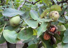Noix de Grenoble AOC AOP 20_1 Plum, France, Fruit, Walnut Oil, French
