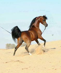 Stunning Arabian horse in the sand.