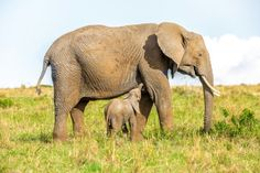 Elephant Share Pictures, Animated Gifs, Sendai, African Elephant, Calves, Elephants, Awesome, Animals, Baby Cows
