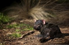 Contagious Cancer May Send Endangered Tasmanian Devil Into Extinction