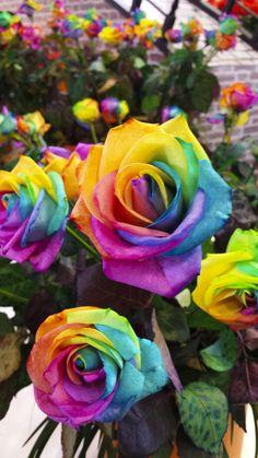 Rainbow roses at Keukenhof park, Holland - tourist attraction