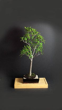 This is a Willow Leaf Fig Bonsai Tree that is presented in a black, glazed rectangular bonsai in a formal upright style. It likes full sun and well draining soil. During the growing season, it will reward you with fig fruits. With proper care, it can live indoors in the Northern climates. The shape is basically set, therefore, it shouldnt be difficult to maintain by a novice. You will get exactly the same tree you see in the pictures. Stand is not included.  We will ship to Canada and Puerto…