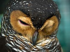 owl feathers...