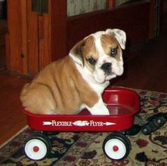 """❤ """"Bayat"""" getting his first wagon ride. Small wagon for a wee pup! ❤ Posted on I love English Bulldogs"""