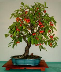 Bonsai Fruit Tree, Fruit Trees, Garden Trees, Small Trees, Backyard, Gardening, Mini, Plants, Image