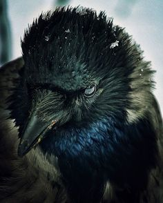 The Western Jackdaw, sometimes known as the Eurasian Jackdaw, European Jackdaw or simply Jackdaw, is a passerine bird in the crow family, uncredited photo. The Crow, Beautiful Birds, Animals Beautiful, Cute Animals, Black Animals, Wild Animals, Blackbird Singing, Quoth The Raven, Raven Art