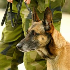 War dogs (dogs in warfare, military service dogs, battle dogs) Military Working Dogs, Military Dogs, Police Dogs, Military Guard, Military Honors, Military Veterans, Belgian Malinois Dog, Adoption, Work With Animals
