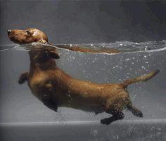 Swimming Dachshund! #teckel #dachshund