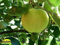 Malus domestica Valkeakuulas/Transparente Blanche. Sommarsort. Växt: Medelstort träd med rund krona. Skörd: riklig. Trädet ger skörd redan som ungt. Frukt: stor till medelstor till färgen gulgrön med lätt brunröd täckfärg. Lätt syrlig smak, som moget aromrikt och saftigt.  Hållbarhetstid: 1-2 veckor.