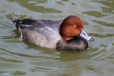 Red head duck by Brian Masters on 500px