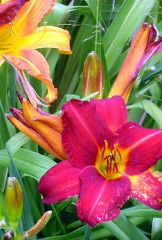 Perennial Day Lily