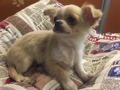 Chihuahua con pelo, disponible