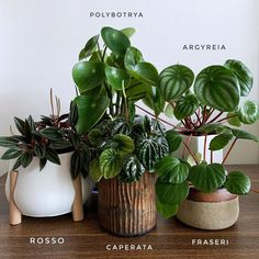Plants – Sunday peperomia portrait we like how they look so different even though they belong to the same family Not difficult to propagate too… - Dekoration Ideen Hanging Plants, Potted Plants, Garden Plants, Indoor Plants, Patio Plants, Leafy Plants, Peperomia Plant, Decoration Plante, Plant Aesthetic