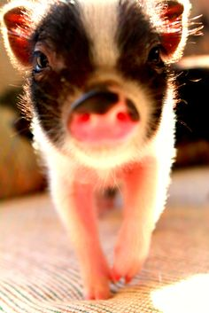We will have a mini pig or two  love the pink with black spots