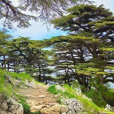 #Barouk cedar forest  By @buddcorp