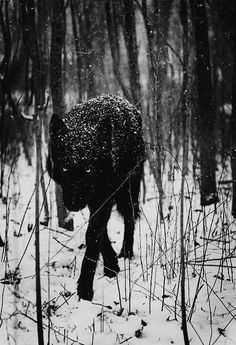 black wolf on the prowl