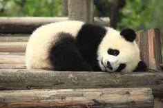 pandas的圖片搜尋結果