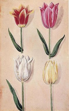 Johann Theodore De Bry - German, 1561-1623, Tulips, Tulipa gesnerana L., Watercolor, These are from a group of flower paintings probably intended for publication as a florilegium, a typpe of picture book of admired garden flowers that became popular in the 17th century. In de Bry's day the tulip was a new import from Turkey, where it was so popular that annual tulip festivals were staged by the Sultan.