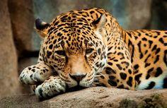 ● پلنگ ایرانی  حیوانات رو به انقراض را بشناسیم!