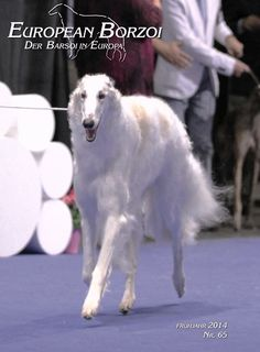 z- Borzoi Walking (European Borzoi)