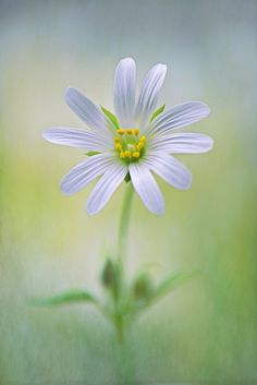International Garden Photographer of the Year 2013, Macro Art, First place- Jacky Parker, 'Little Stitchwort'.