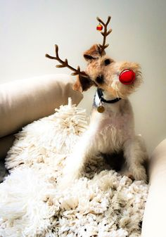 Jack. My wire haired fox terrier.