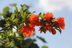 ¿Por qué no florece mi granado? - https://www.jardineriaon.com/por-que-no-florece-mi-granado.html #plantas