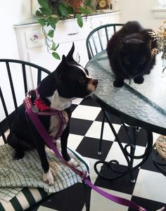 Figgy, the Boston Terrier and Wish, the black cat (neutered male, age 13). Figgy is enjoying the view outside (while I make breakfast), Wish has come over to socialize, blocking Figgy's view.