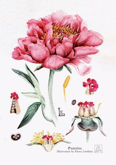 Watercolor Botanical Illustration. Flowers. Part II by Elena Limkina, via Behance