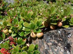 Целебные «медвежьи ушки» Речь пойдет о толокнянке обыкновенной (латинское название Arctostaphylos uva-ursi), которую в народе называют «медвежьими ушками» или «медвежьей ягодой». Аналогичное название «bearberry» у этого растения в англоязычных странах. Толокнянка – это небольшой вечнозеленый кустарник, внешне немного напоминающий бруснику, но относится совсем к другому семейству – Вересковых. Побеги его – стелющиеся и могут достигать полутораметровой длинны. Фото: © Walter Siegmund