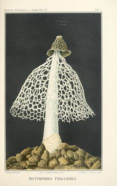The Biodiversity Heritage Library (BHL) is a veritable storehouse of natural history documentation that provides open access to its digital library… Illustration Botanique, Botanical Illustration, Botanical Art, Jena, Fungi, Animal Sketches, Animal Illustrations, Watercolor Projects, Colossal Art