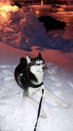 Husky, Dogs, Animals, Life, Animales, Animaux, Pet Dogs, Doggies, Animal