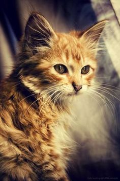 Wistful looking ginger kitten.