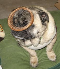 Give the pugs some.