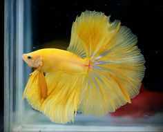 Some interesting betta fish facts. Betta fish are small fresh water fish that are part of the Osphronemidae family. Betta fish come in about 65 species too! Betta Fish Types, Betta Fish Care, Pretty Fish, Beautiful Fish, Colorful Fish, Tropical Fish, Aquariums, Freshwater Aquarium Fish, Siamese Fighting Fish