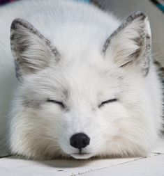 Just cuz i pin Naruto fox pins, now i get these in my feed Cute Little Animals, Cute Funny Animals, Cute Dogs, Fox Pictures, Pet Fox, Arctic Fox, Tier Fotos, Spirit Animal, Animal Photography