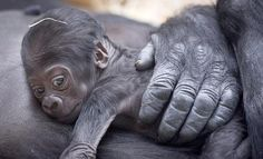 Newborn Gorilla. So sweet!