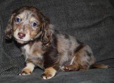 Chocolate & Cream dapple dachshund puppy