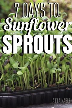 When greens are in short supply, sunflower sprouts can fill in a need for greens. Start some of these microgreens today and you'll have fresh greens for salads and sandwiches in about a week! Growing Sprouts, Growing Herbs, Growing Vegetables, Organic Gardening, Gardening Tips, Indoor Gardening, Vegetable Gardening, Sprout Recipes, Summer Garden