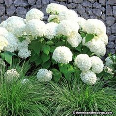 Annabelle is a shorter Hydrangea that is famous for its huge, snow-white blooms. One of the most popular Hydrangea, it will thrive in most parts of the country. (Hydrangea arborescens)